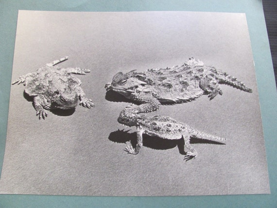 Vintage Educational Classroom Poster Print - Horned Toads Lizards - Circa 1960s