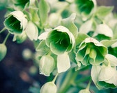Little Green Bells, floral photography, home decor, wall art 8 x 10 photographic print
