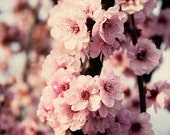 Cherry Blossoms, pink flowers, floral photography, decor 8 x 10 photographic print