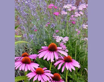 Echinacea, Lavender, Yarrow 8 x 10 Fine Art Photo