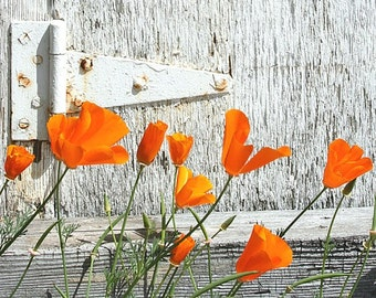 California Poppies by the Old Gate 8x10  Fine Art Photograph