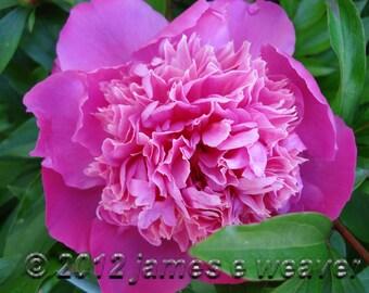 Rose Peonie folded greeting card