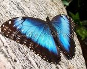 Blue Butterfly Fine Art Photo Print 5x7