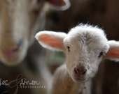 little prince - fine lamb photography (and so farm fresh) 8x10 hardbacked