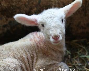 Harry - fine lamb photography (and so farm fresh)