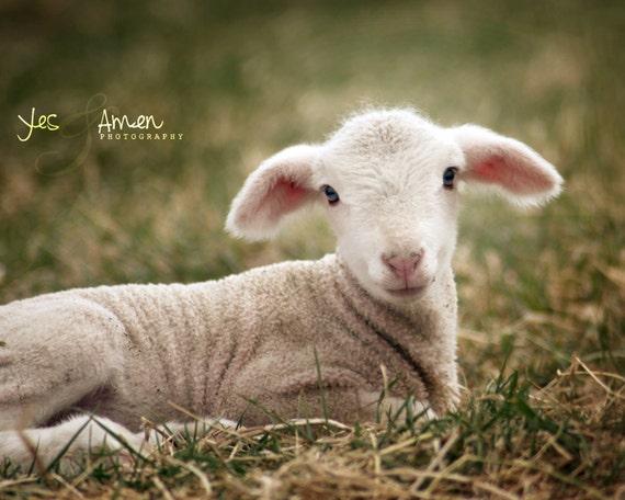 selah - fine lamb photography (and so farm fresh) cards
