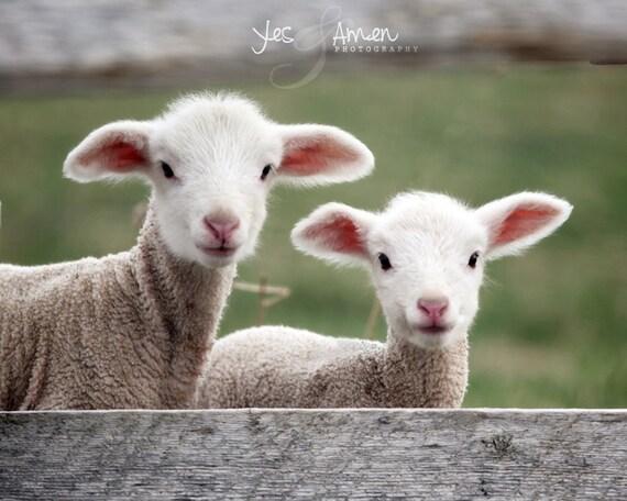 goodness & mercy - fine lamb photography (and so farm fresh) 8x10 hard backed