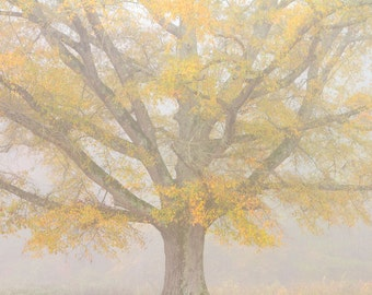 Tree Photograph - Willow Oak in Fog