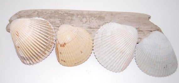 Natural Sea Shells from Florida Beach