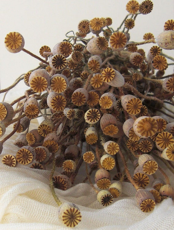 Mini Long Stem Dried Poppies - large bunch - poppy flower, poppy pods, for bouquets, flower arrangements, natural decor