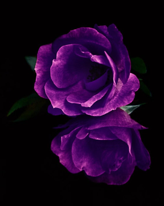 Purple Rose Floral Fine Art Photography  One