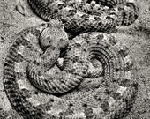 Love at First Bite - Black and White Fine Art Photograph - Rattlesnakes - 5x7
