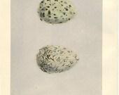Antique Birds Egg Print by Morris 130 Year Old Wood Block Engraving