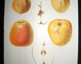 Botanical Antique Fruit Print of  Apples by Wolters circa mid 1800's