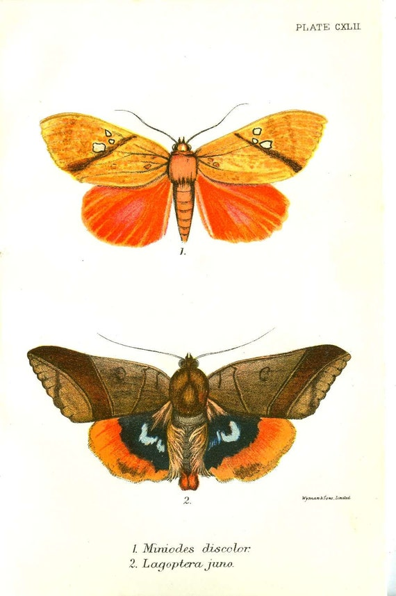 Antique Butterfly / Moth Print From Lloyd's Natural History by W.F.Kirby. London Original antique color chromolithograph from 1897