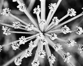 Winter Cow Parsley Abstract - Fine Art Photography - Home Décor - Nature Photography