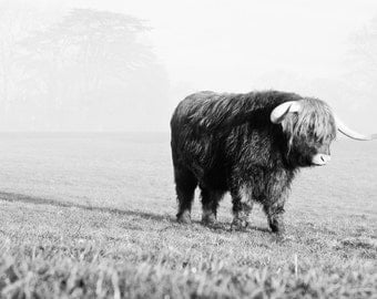 Highland Cattle 7 - Fine Art Photography - Wall Décor - Highland Cow - cow