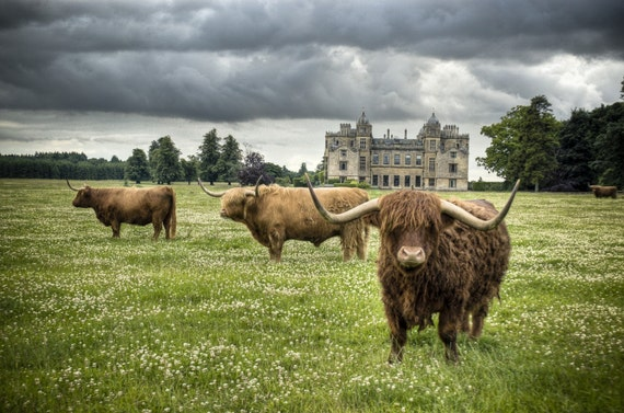 Highland Cattle 1 - Fine Art Photography - Wall Décor - Nature Photography