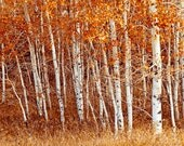Photo of Forest of White Tree Trunks and Orange Leaves. Fine Art Photo Entitled Fire and Ice - 12 X 18