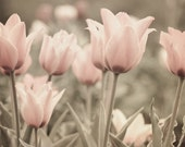 Mixed Media Photo of Garden of Soft Pink Tulips - Fine Art Photo Entitled Gentle Morning - 8 X 10