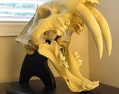 STOREWIDE SALE / Sabertooth Cat Tiger Skull on Custom Display Stand / Natural History