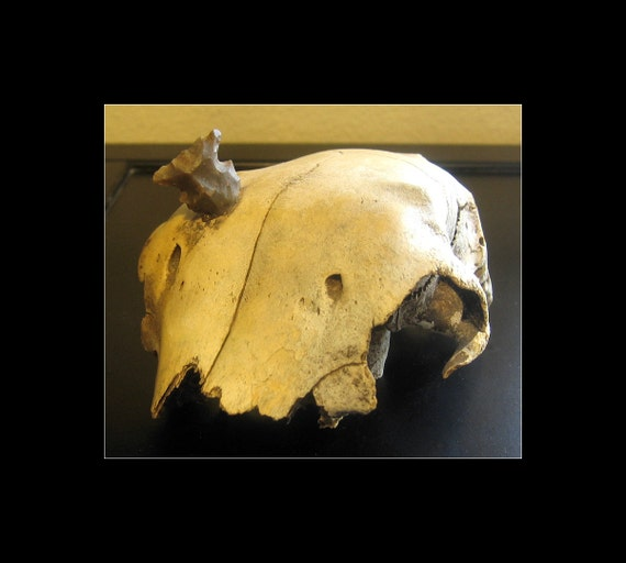 Now Available / Very Old Animal Skull with Authentic Native American Indian Arrowhead Artifact
