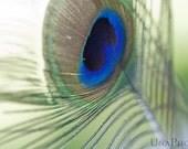 Peacock Feather Postcards - Fine Art Photograph