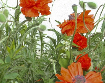 Poppies - 8x8 Fine Art Photograph