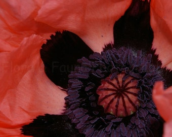Plush Petals Intimate Poppy Macro 8x12 Fine Art Photographic Print