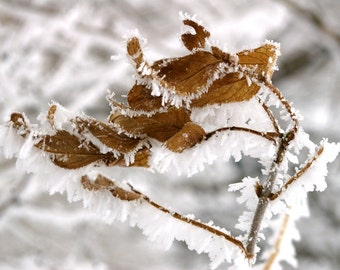 Crystallized Winter Leaves 5x7 Fine Art Photographic Print Gift Under 10 Home Decor White Brown