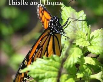 Monarch Butterfly closeup - 5X7 Photographic print single print