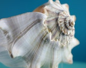 Beach Decor - Big Lightning Whelk Seashell