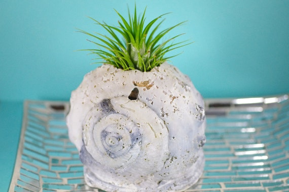 Beach Decor Queen Helmet Shell with Air Plant - Natural or PICK YOUR COLOR