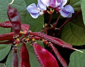 Hyacinth Bean Vine Seeds