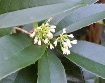 Sweet Olive - Osmanthus fragrans .. gallon  .. (PRE-ORDER .. Will ship in April)