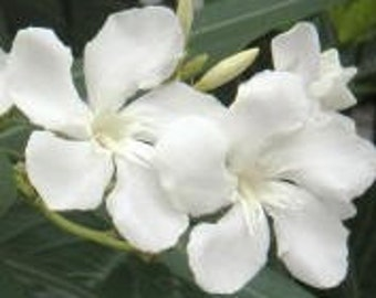 "Oleander - ""Hardy White"" ... gallon .. Buy 1 Get 1 Free!"