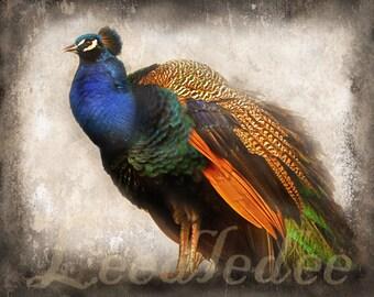 Peacock - Textured Vintage Style Original Photograph - Cobalt Blue Orange Colorful