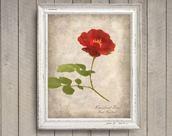 Ruby Red Rose Botanical Print - Vintage Style Original Photograph - Distressed Texture Cream Beige Parchment Floral Home Decor Wall Art