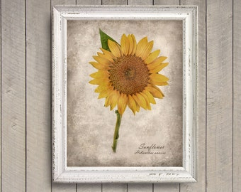 Sunflower Botanical Print - Vintage Style Original Photograph - Shabby Chic Autumn Fall Yellow Gold Sepia Home Decor