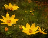 Yellow Coreopsis - Original Photograph 8x10 - Mustard Gold Flowers Garden Botanical Floral Olive Green Home Decor