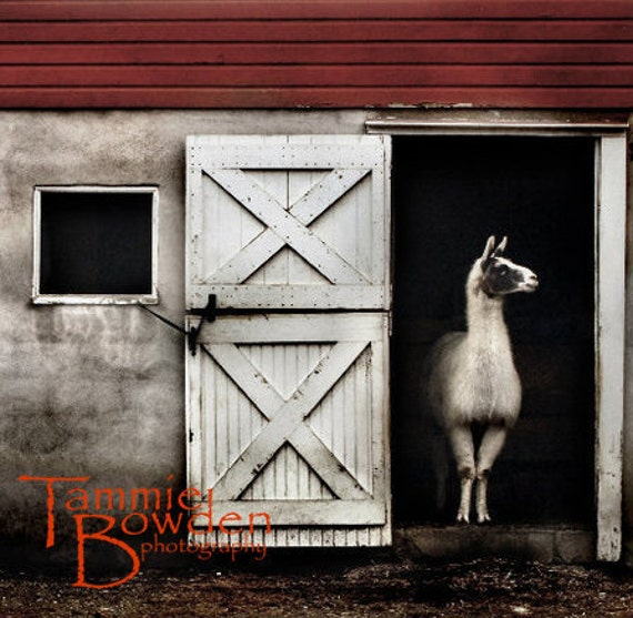 Llama  - Original Photograph - Rustic Grey Red Country Barn Farmhouse Wall Decor