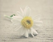 "Flower Photograph - Nature Photo - ""Happy Little Mum"" - (White, Yellow, Beige) - Baby Nursery Art - Home Decor - Fine Art Photograph"