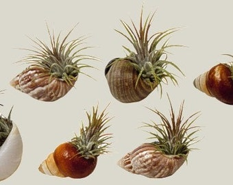 Shell Magents with Air Plants (set of 12)