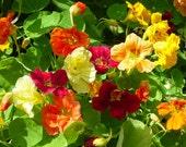 Organic nasturtium seeds