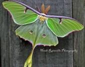 Green Luna Moth on Wood - 5x5 Photograph Butterfly