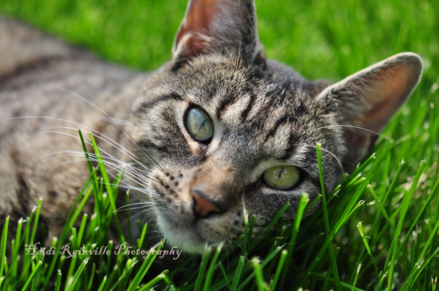 5x7 Photograph Brown Gray Tabby Cat in the Grass by ...