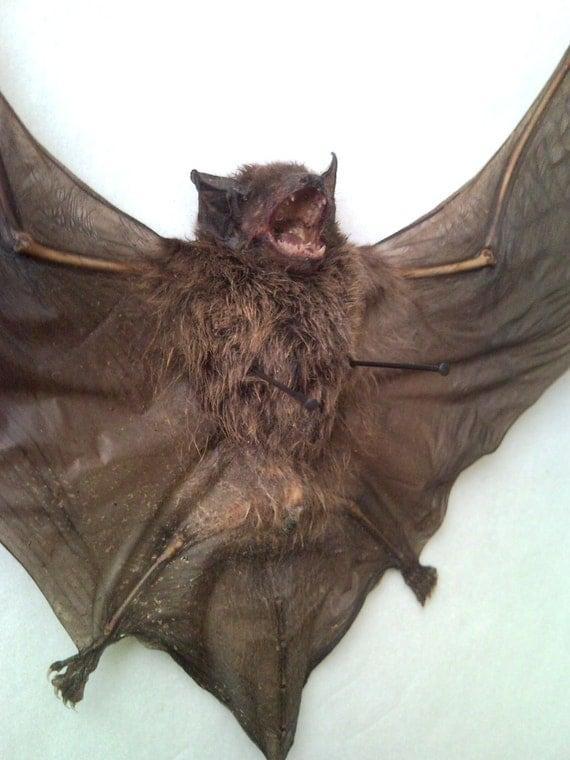 Vampire Bat in Black Glass Top Case - SHIP FREE 3