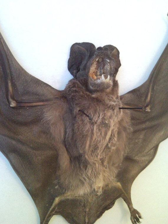 Taxidermy Tailed Bat - SHIP FREE