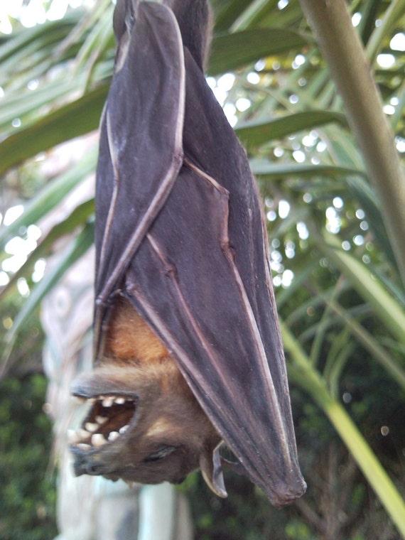 Sleeping Twilight Wolf Bat - SHIP FREE