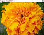 Shop Closing 60% OFF SALE Crackerjack Mixed Colors Marigold Flowers Specialty Seed Packets
